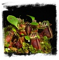Cephalotus follicularis {mix of different forms} (7s)