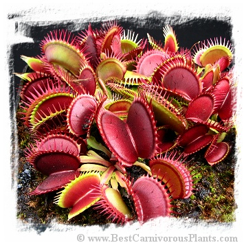 Dionaea muscipula 'Red Purple' / 3+ plants
