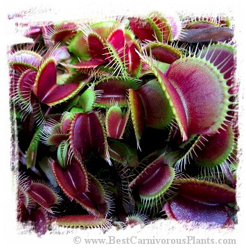 Dionaea muscipula (all red forms): Clone A32-02 / 2+ plants