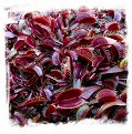 Dionaea muscipula {All Red Form Mix} (1000+ seeds)