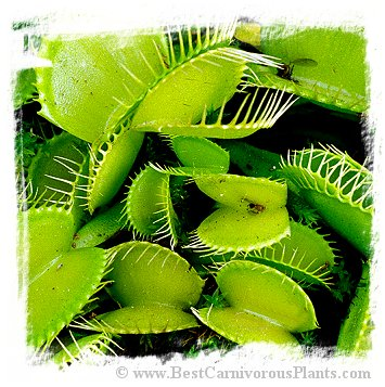 Dionaea muscipula {All Green Mutant} (15s)