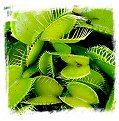 Dionaea muscipula {All Green Forms Mix} (40s)