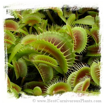 Dionaea muscipula (extra giant): Clone BCP 16-01 / 2+ plants