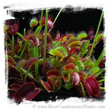Dionaea muscipula (giant forms): Clone MIX8 / 3+ plants