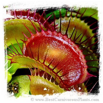 Dionaea muscipula {Mix of Giant Clones} / 3+ plants