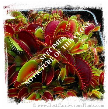 Dionaea muscipula {BCP Clone X01-X14 MIX, most of them dentate} (15s)