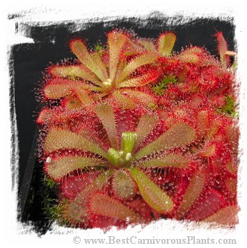 Drosera aliciae / 2+ plants