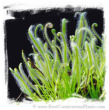 Drosera capensis {White Flower} (50s)