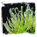 Drosera capensis {White Flower Form} / 3+ plants