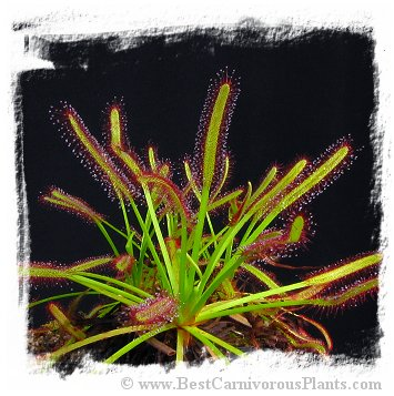 Drosera capensis {Giant, from Paul Debbert, Munich BG, Germany} (30s)