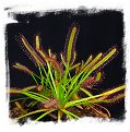 Drosera capensis {Vogelgat Nature Reserve, near Hermanus, RSA} / 2+ plants