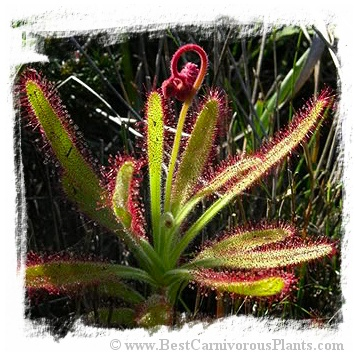 Drosera hilaris {Table Mountain, SA} / 3+ plants