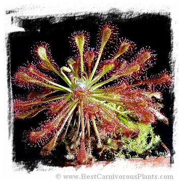 Drosera intermedia {Carolina Giant, USA} (15s)
