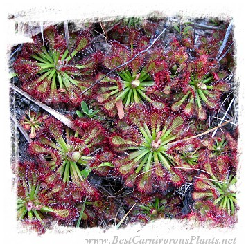 Drosera roraimae {mixed forms} / 1 plant, 2-4 cm