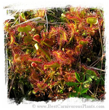 Drosera rotundifolia {Lake Placid, Essex County, New York, USA} (25s)