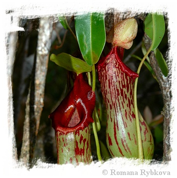 Nepenthes burkei {x alata?, Halcon, Philippines}