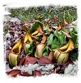 Nepenthes veitchii {lowland form, golden peristome, Bario} / 2-6 cm