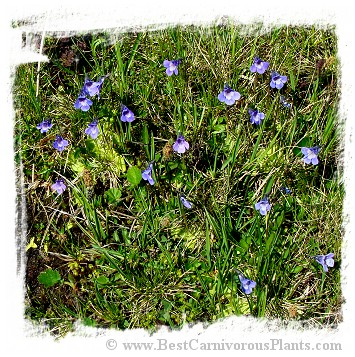 Pinguicula balcanica {Mt. Voras, Greece} / 2+ plants