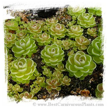 Pinguicula esseriana {light pink flw, Giant} / 1+ plant