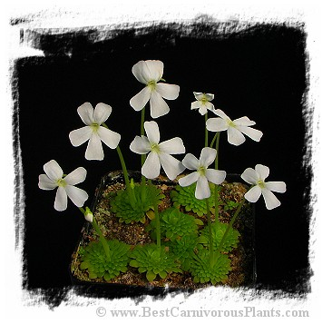 Pinguicula moranensis var. alba {pure white flower; 25 km from San Cristobal, Mexico} / 2+ plants