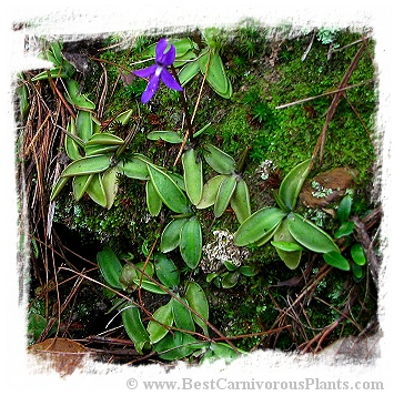 Pinguicula orchidioides / 2+ plants
