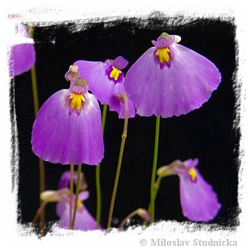 Utricularia aff. beaugleholei {Topperwein near Penda, SE of South Australia}